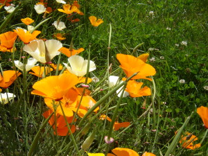 Natural Remedies for ADHD: California poppy