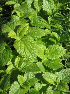 Natural remedies for anxiety: Lemon Balm
