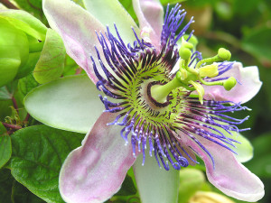 Natural remedies for anxiety: Passion Flower