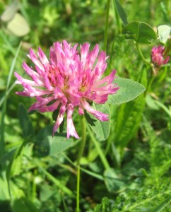Natural Remedies for ADHD - Red Clover